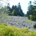 Myrtilles en fleurs au Grand Chirat